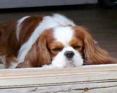 Cavalier snoozing...<3   cavalier king charles