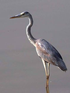 Grey Heron by Athula Edirisinghe. India