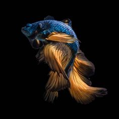 Photographic Print: Colourful Betta Fish,Siamese Fighting Fish in Movement Isolated on Black Background. by Nuamfolio : Banksy, Underwater Photography, Fine Art Photography, Fish Wallpaper, Iphone Wallpaper, Life Under The Sea, Beautiful Fish, Pretty Fish, Beta Fish