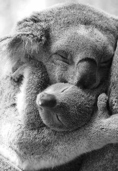 Koala mother and baby.