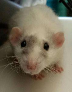 Rat!!!