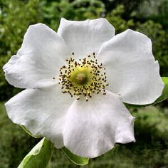 "(Rosa laevigata)Cherokee rose.The flower is commonly associated with the   ""The Trail of Tears - Cherokee Indians forcibly removed from North Georgia Its petals represent the women's tears shed during the period of great hardship and grief.The flower has a gold center, symbolizing the gold taken from the Cherokee tribe"