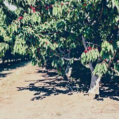 cherry orchard in northern california - See more on the blog!