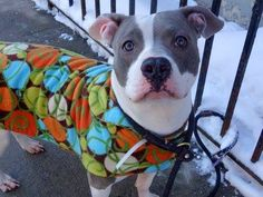 """GONE 03/17/15 --- SAFE 4/22/13 Manhattan Center   ISLAND aka DIAMOND - A0962007  *** RETURNED ON 03/02/15 - """"NO TIME"""" ***  FEMALE, BLUE / WHITE, STAFFORDSHIRE MIX, 3 yrs OWNER SUR - ONHOLDHERE, HOLD FOR ID Reason NO TIME  Intake condition EXAM REQ Intake Date 03/02/2015,  https://www.facebook.com/photo.php?fbid=600114216668128"""