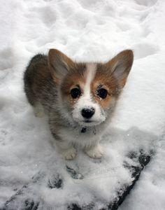 I cannot handle it! His face just makes me want to kiss him! And snowy paws.... Heart is melting.