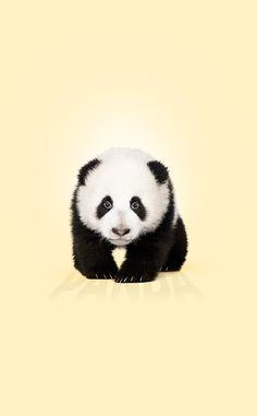 Cute panda 🐼🐼🐼