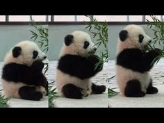 Watch This Adorable Baby Panda Figure Out What Eating Bamboo is All About - Cheezburger