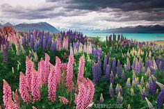 Google Image Result for http://newzealandphotographer.files.wordpress.com/2012/07/lake-tekapo-lupins-600px.jpg