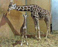 Genevieve and George at Bristol Zoo, George was born on Friday