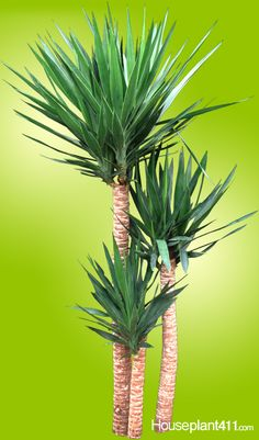 Why do Yucca turn brown? Over-watering. Read Yucca care tips. Why do Yucca Yucca Plant Indoor, Yucca Plant Care, Indoor Plants, Potted Plants, Yucca Tree, Cane Tips, Indoor Trees, Plant Diseases, Houseplants