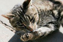 Hygiène — Wikipédia Big Cats, Cats And Kittens, Exotic Cat Breeds, Purebred Cats, Domestic Cat, Mixed Breed, Cat Life, Animal Kingdom, Mammals