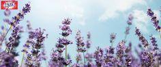 Lavender (hoa Oải hương) được trồng chuyên biệt tại những nông trại hợp tác ở vùng Plateau de Sault thuộc Haute-Provence. Hương thơm của Oải hương là kết tinh của tâm hồn vùng Provence, nhẹ nhàng và thư thái.  Oải hương được sử dụng trong sản phẩm Nước rửa tay Luxix sẽ mang lại cho bạn trải nghiệm thú vị!