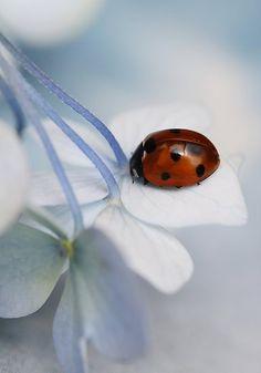 coccinelle et fleurs blanches