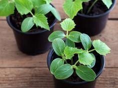 Семена огурцов высевают в небольшие емкости