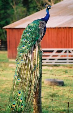 A Peacock rests on a post on a rural Kentucky road near Tompkinsville, KY ... for such a pretty bird they sure have a horrible call ... if you've ever heard one, you'll never confuse it with any other call lol