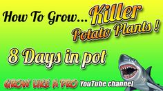 How To Grow A Potato Plant In A Pot   Update 2 - Day 8 Channel, Potatoes, Day, Gardening, Youtube, Plants, Watch, Clock, Potato