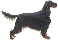 Gordon Setter | Dog Breeds at myPetSmart.com
