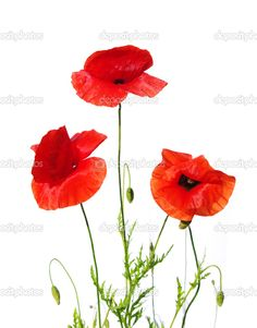 depositphotos_7378349-stock-photo-poppies-isolated-on-white.jpg (800×1023)