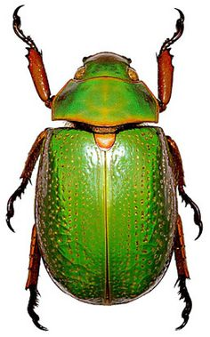 Chrysina spectabilis - Escarabajo Gema.jpg 257×413 pixels