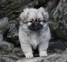 Tibetansk spaniel -tooooooooo cute!!!!!
