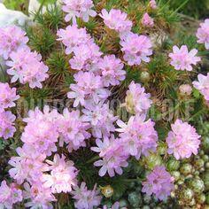 image de Armeria juniperifolia Alice, Planting Flowers, Dimensions, Photos, Gardening, Image, Crochet, Unique, Garden