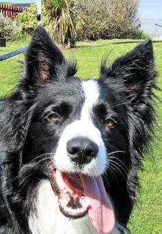Portrait of Asha the border collie...
