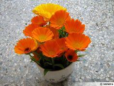 ANNUELLE - Calendula officinalis souci de mon jardin