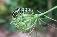 Butterfly host plant - fennel.