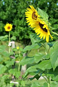 Fun to Funky: Mammoth Sunflowers + My Tips! Mammoth Sunflower, Thunderstorms, Amazing Gardens, Sunflowers, Garden Fun, Water, Tips, Plants, Gardening