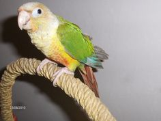 another color variation of a Green Cheek Conure