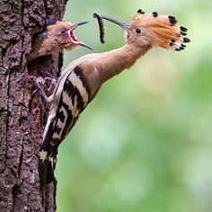 It's feeding time! #hoopoe By Thomas Hinsche (@photography.hinsche) on Instagram.