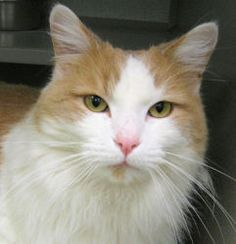 Jack Jack is an adoptable Domestic Medium Hair - Orange And White Cat in Saint Paul, MN. Hi! I thought I'd try to do my own marketing with the help of my photographer while my biographer is unavailabl...