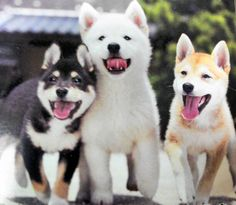 Shiba Inu puppies, one in each color please!