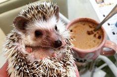 Новости про животных: Уютное кафе с ежами.