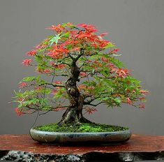 Please, Baby Jesus, let me be able to grow & keep a bonsai tree alive, unlike every other plant in my past.