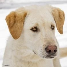 Meet Zuke, a Petfinder adoptable Yellow Labrador Retriever Dog | Baltimore, MD | ZUKE NEEDS A FOSTER OR LOVING FOREVER HOME!!!Fosters make it possible for Dogs XL to save and care...