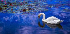 Lotus Swan - Brian Stevens