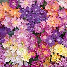 Rainbox Lewisia Mix. This gorgeous perennial adds tons of multicolored beauty to sunny borders and containers. Just 8-10 in. tall and covered in beautiful, star-shaped blossoms in a mix of white, purple, pink, yellow and orange! Blooms for several weeks in mid to late spring.  Potted plants. Zones 5-8.