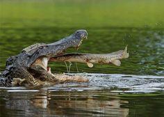 Perfect Timing !!    Amazon River ~ South America    Credit : Thomas Muler