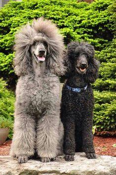 Beauties! #richfashion #unique #style #love #poodles