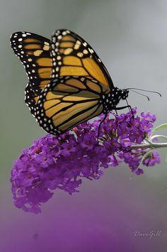 When I see Monarchs I'll always think of my grandma calling my mom to Heaven.