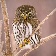 © Paul Burwell Photography   Northern Pygmy Owl on a frosty branch