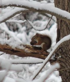 Eating his saved Winter nuts..