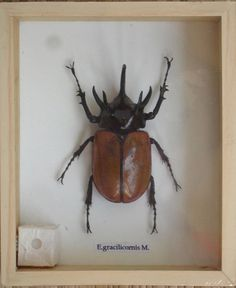Real 5 Stag Gracilicornis Beetle Insect by THAICRAFT4YOUDOTCOM, $12.49