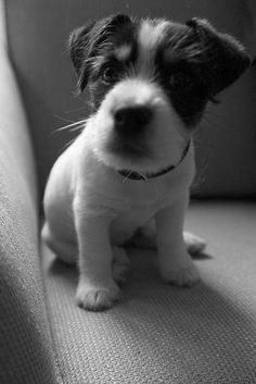 Jack Russell puppy. Nicole says...Looks a lot like my little girl Betty, who made her journey home. Looking at this photo is bittersweet. So beautiful, brought tears to my eyes.