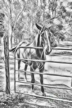 Calm Horse Standing Near Gate In Queensland