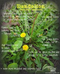 concise, helpful ideas - neat idea about the flower petals! Dandelion Uses, Dandelion Benefits, Dandelion Recipes, Dandelion Leaves, Dandelion Flower, Dandelion Plant, Healing Herbs, Medicinal Plants, Natural Healing