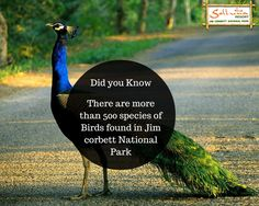 While Corbett is justly famous for its healthy population of large mammals including the Indian Tiger and the Asiatic Elephant, it is as famous for its birds with over 500 species recorded from the area. #wildlife #sollunaresort #facts #jimcorbett