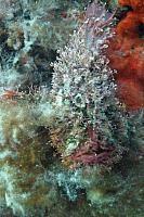 Tasselled Anglerfish (Rhycherus filamentousus)