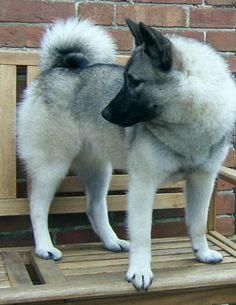 The Norwegian Elkhound up close Cute Puppies, Dogs And Puppies, Cute Dogs, Norwegian Elkhound, Companion Dog, Horses And Dogs, Dogs Of The World, Family Dogs, Grimm